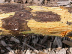 Image of tree cankers.
