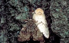 Image of an Adult Gypsy Moth